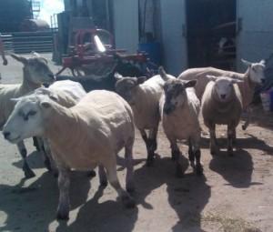 sheep for leaflet