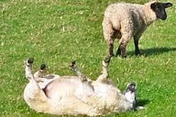 sheeprolling