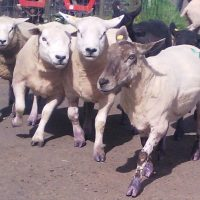 group of sheep with purple socks