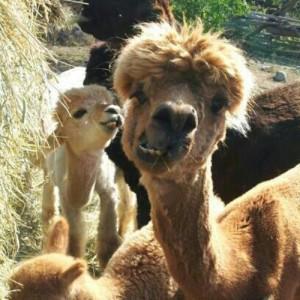 funny alpaca picture